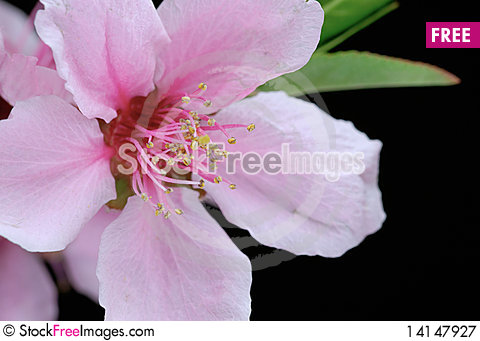 Free Peach Blossoms Royalty Free Stock Photography - 14147927
