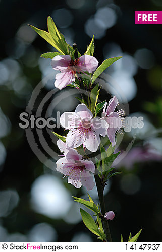 Free Peach Blossoms Royalty Free Stock Photography - 14147937