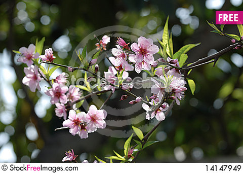 Free Peach Blossoms Royalty Free Stock Images - 14147949