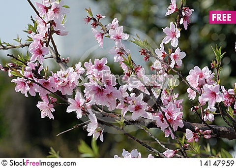 Free Peach Blossoms Royalty Free Stock Images - 14147959