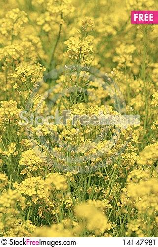 Free Rape Flower Stock Image - 14147981