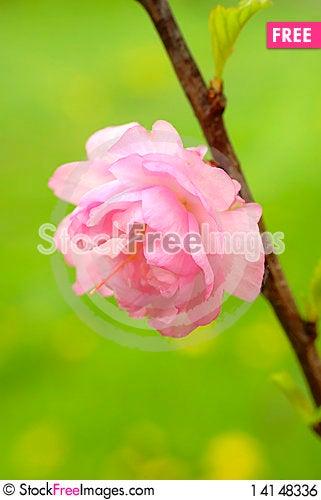 Free Pink Flower Royalty Free Stock Image - 14148336