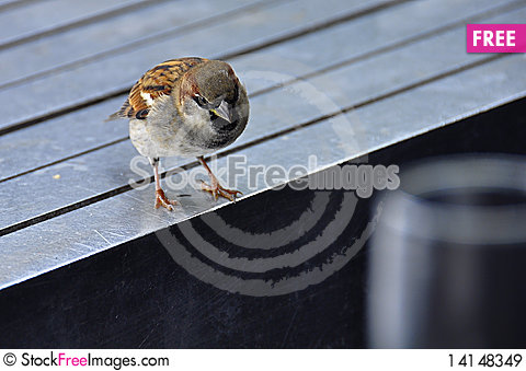 Free Curious Sparrow Royalty Free Stock Images - 14148349