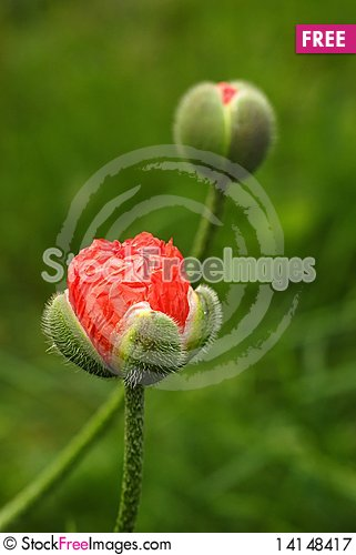 Free Red Poppies Royalty Free Stock Photography - 14148417