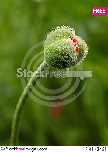 Free Red Poppies Stock Image - 14148461