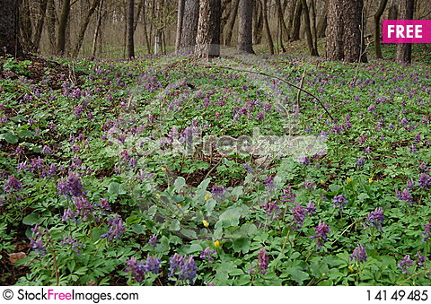 Free Spring Forest In Spring Flowers Royalty Free Stock Photo - 14149485