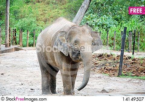 Free Elephant Royalty Free Stock Photography - 14149507