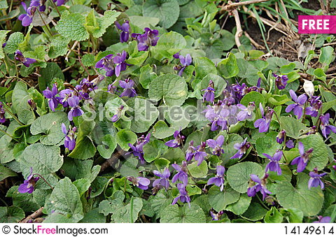 Free Spring Violets In The Woods Stock Images - 14149614