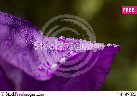 Free Iris Sibirica Macro Stock Photography - 14149822