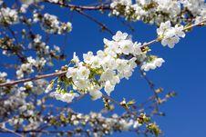 Free Cherry Blossom. Stock Image - 14140101