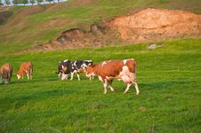 Free Cows Feeding On Grass Royalty Free Stock Photography - 14140537