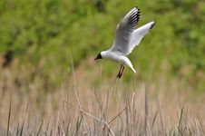 Laughing Gull Landing On Its Nest Stock Photos