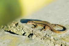Alive Wall Lizard Stock Photography