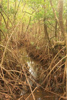 Free Mangrove Stock Photo - 14143930