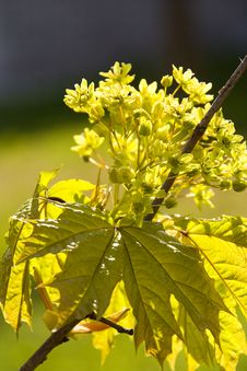 Blossoming Maple Royalty Free Stock Images