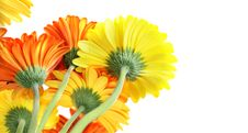 Free Many Beautiful Gerberas Royalty Free Stock Photos - 14144128
