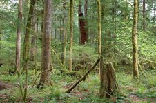 Beautiful Forest Of Pacific Northwest Royalty Free Stock Photo