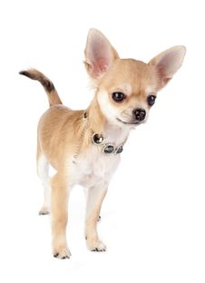 Nice Chihuahua Puppy With Necklace Portrait Stock Image