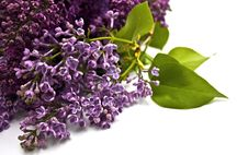Free Lilac Royalty Free Stock Photography - 14145067