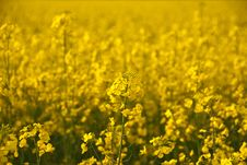 Close Look Of Yellow Rape Flower And Field Stock Image