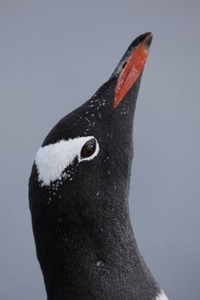 Gentoo Penguin Sky Pointing, Antarctica