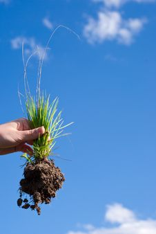 Free Grass With A Root In A Hand Royalty Free Stock Image - 14146196