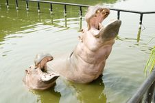 A Hippos In Water Royalty Free Stock Photos