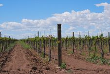 Free Grape Vines Stock Photos - 14147813