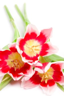 Free Three Pink Tulips Royalty Free Stock Photos - 14148168