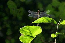 Free Dragonfly Royalty Free Stock Photos - 14148738