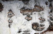 Free Tree Bark Stock Photography - 14149592