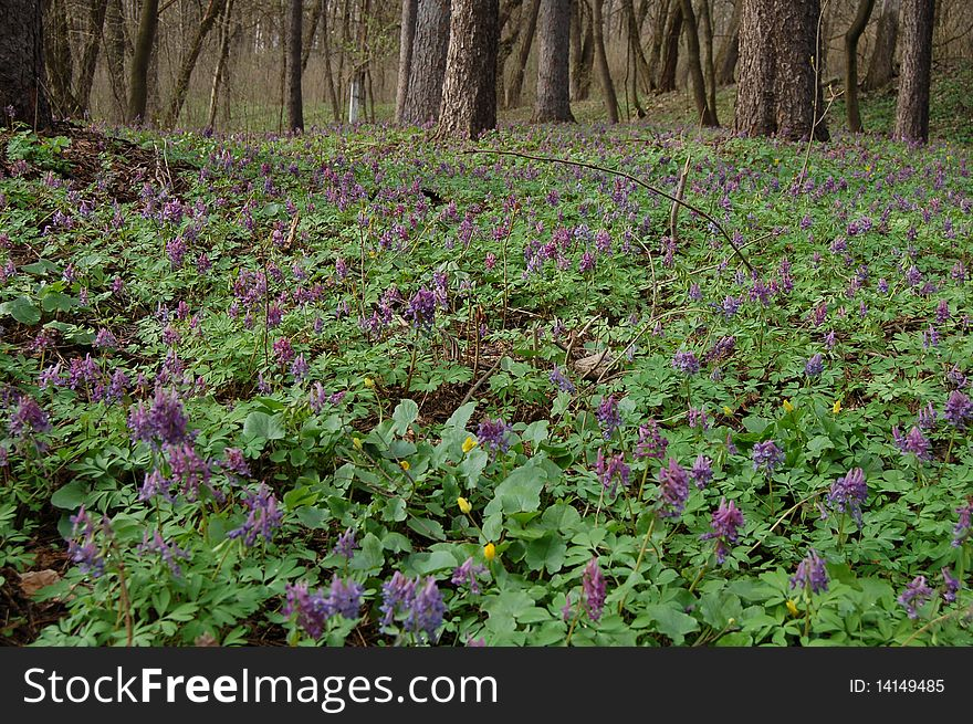 Spring Forest in spring flowers