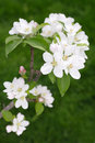 Free Apple Blossoms Stock Image - 14158421