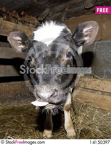 Free Yong Cow Royalty Free Stock Photography - 14150397