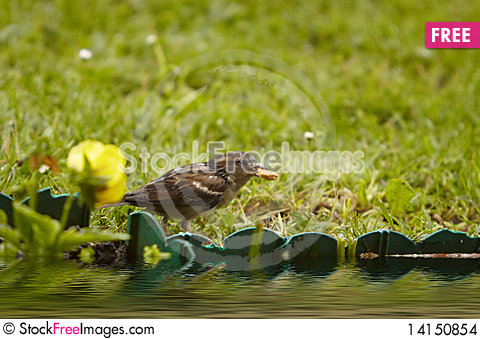 Free Sparrow In The Watertight River Stock Images - 14150854