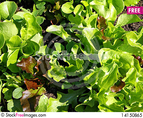 Free Color Lettuce Close-up Royalty Free Stock Photo - 14150865