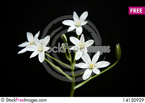 Free White Flowers Royalty Free Stock Images - 14150929