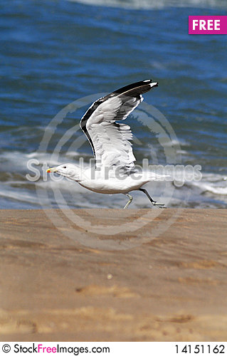 Free Seagull Taking Off Stock Photography - 14151162