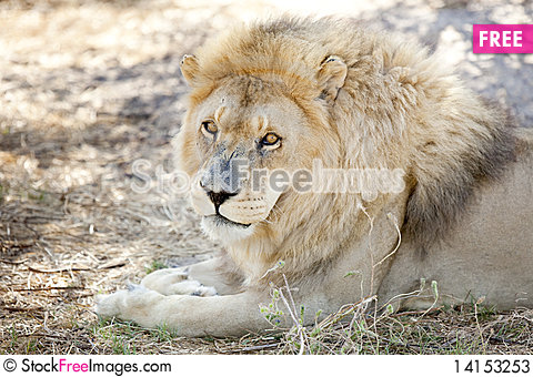 Free Alert Lion Watches From The Shade Stock Photos - 14153253