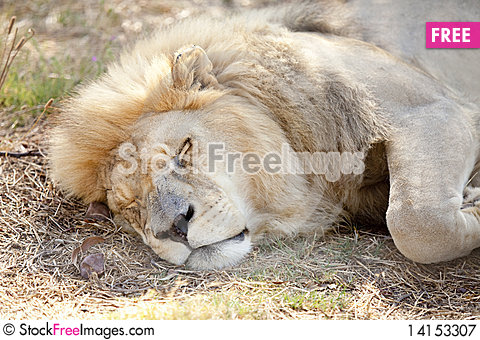 Free Tired Lion Dozes In The Cool Shade Royalty Free Stock Photography - 14153307