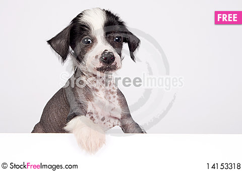 Free Puppy Of Chinese Crested Dog Royalty Free Stock Photos - 14153318