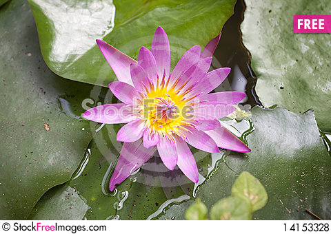 Free Water Lily Blooms In Pond Royalty Free Stock Photos - 14153328