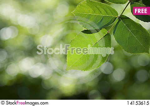 Free Beautifu Detailed Green Leaves Royalty Free Stock Photo - 14153615