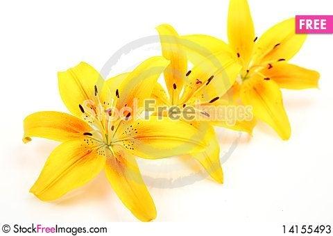 Free Yellow Lilies Stock Photos - 14155493