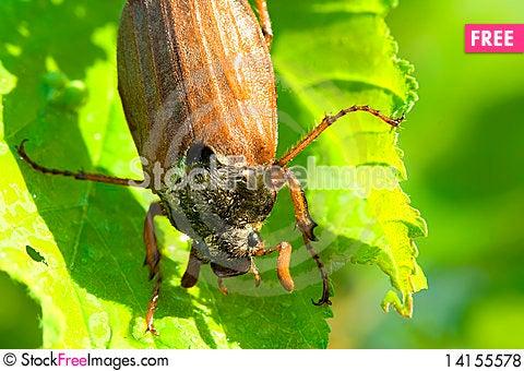 Free Beetle Royalty Free Stock Photos - 14155578