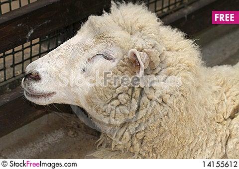 Free Sheep Stock Photography - 14155612