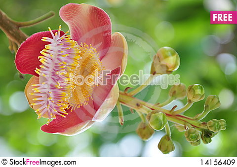 Free Cannon Ball Tree Flower Royalty Free Stock Images - 14156409