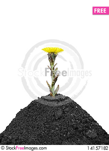 Free Black Soil And Yellow Spring Flower Stock Photography - 14157182