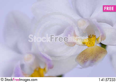 Free Close Up Of Two Yellow Tongues Of Orchid Stock Photos - 14157233