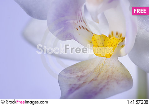 Free Close Up Of Yellow Tongue Of Orchid Royalty Free Stock Photos - 14157238